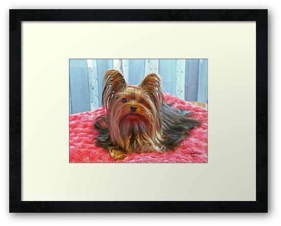 Yorkie Beauty by Gail Bridger
