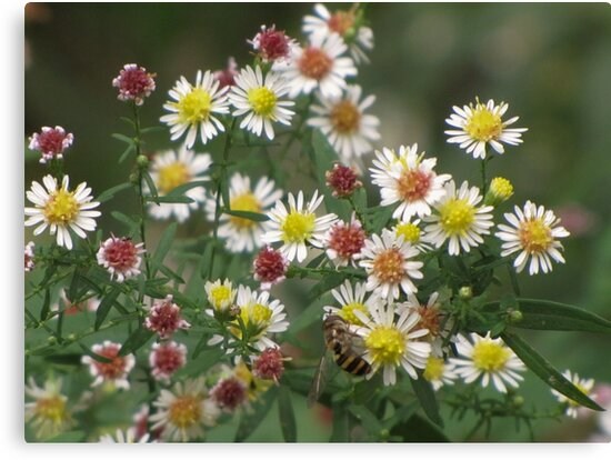 Calico Asters by lorilee