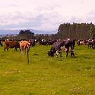 Ohoka cattle by Elaine Stevenson