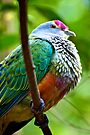 Rose-crowned Fruit Dove by Extraordinary Light