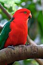 Male King Parrot by Extraordinary Light