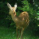 My deer by Photos - Pauline Wherrell