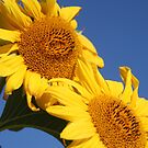 Sunflowers in the Blue by Pamela Jayne Smith
