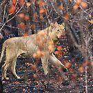 Lion, Kruger National Park, South Africa by Roger Barnes