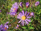 New England Aster Wildflower - Purple by MotherNature