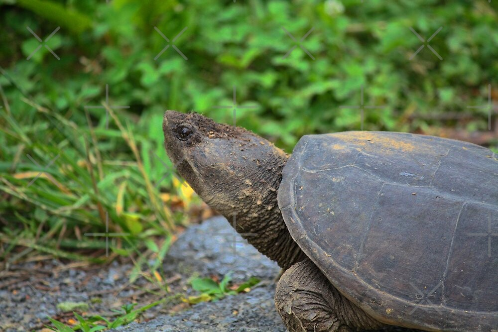 Turtle study 2 by Linda Costello Hinchey