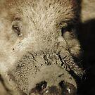 Boar by KatsEyePhoto