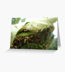 Green Ants making nest - Kennedy, North Queensland, Australia Greeting Card