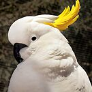 """Sulphur Crested Cockatoo""  by Toni Kane"