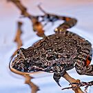 Tusked Frog - Adelotus brevis by Normf