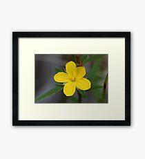 Hibbertia salicifolia  Framed Print