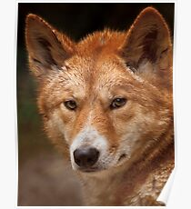 Wild Faces: Dingo Poster