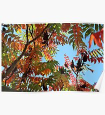 Stag's Horn Sumac Poster