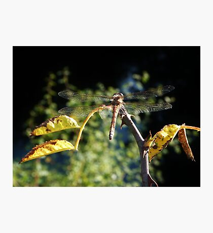 Idle Dragonfly Photographic Print