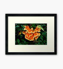 Sulphur Shelf fungus Framed Print