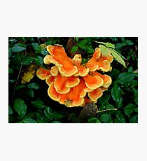 Sulphur Shelf fungus Photographic Print