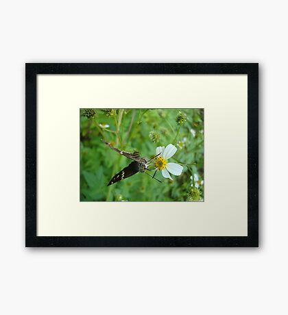 Long-tailed Blue Skipper on Spanish Needles Framed Print