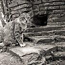 Intramuros Cat by Norman Repacholi