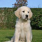 Golden Retriever Sallie 2 months old by Trine