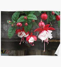 Red Fuchsia Poster
