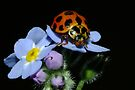 Common Spotted Ladybird - Harmonia conformis   by Gabrielle  Lees