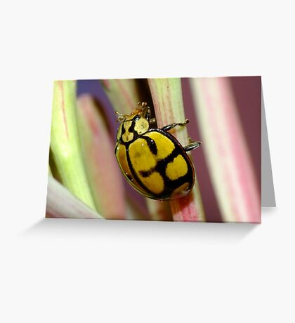 Netty Ladybird Beetle - Harmonia testudinaria Greeting Card