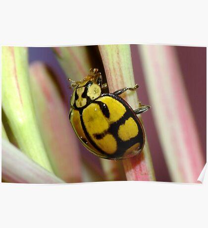 Netty Ladybird Beetle - Harmonia testudinaria Poster