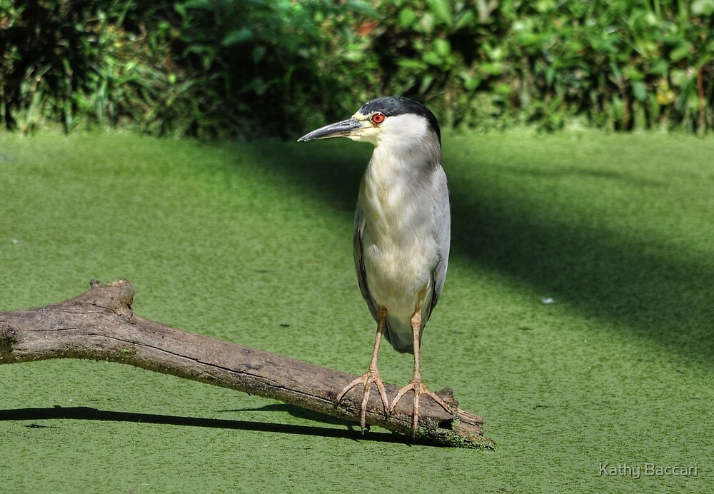 Black Crowned Night Heron Perched On Driftwood by Kathy Baccari