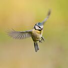 Blue tit ~ In flight by M S Photography/Art