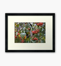 Broad Leaf Mountain Ash - Orange Berries Framed Print
