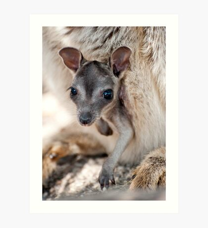 Hanging Out - Mareeba rock wallaby Art Print