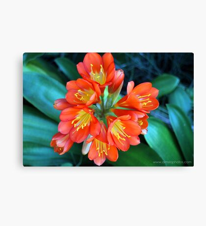 Unkillable Clivia! Canvas Print