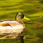Duck by vasu