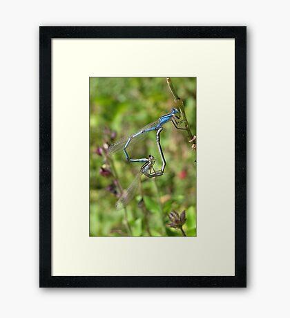 Damselfly ~ Familiar Bluet pair copulating Framed Print