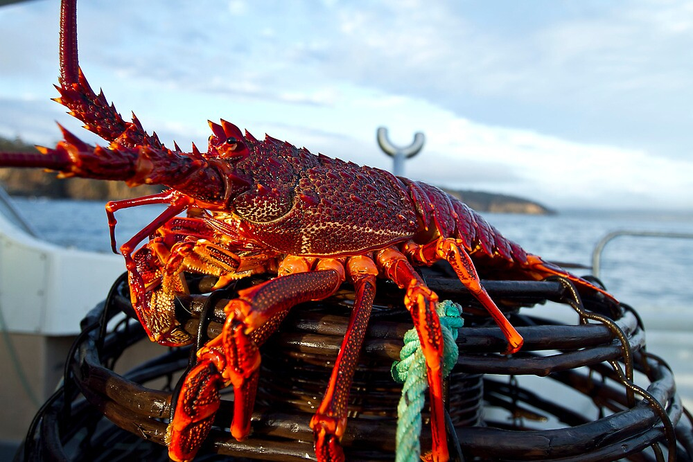 """""""Big Crayfish on a Pot at Marion Bay in Tasmania"""" by andychiz   Redbubble"""