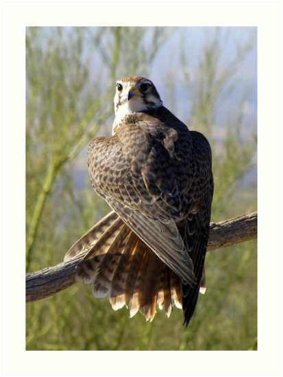 Prairie Falcon ~ Some Privacy PLEASE! by Kimberly Chadwick