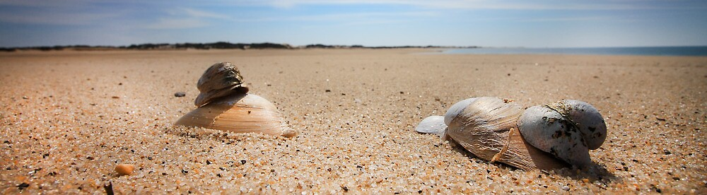 Hard Shelled Clam - Provincetown Beach by Artist Dapixara