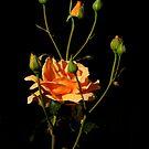 Roses Of Portland ~ Part Five by artisandelimage