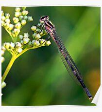 Brown damselfly (Argia-fumipennis). Poster