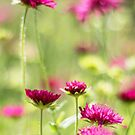 Wildflowers by Belinda Osgood