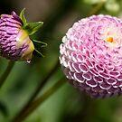 Pink Pompom Dahlia by Belinda Osgood