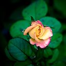 Rose by Alan Hyland