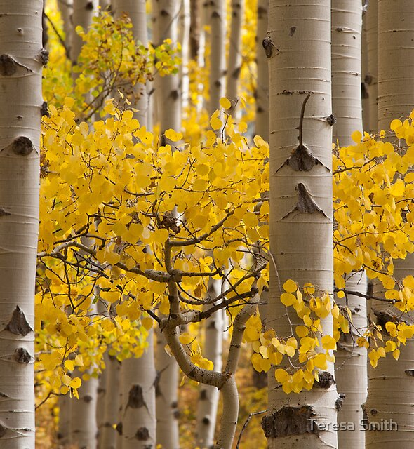 Aspen Gold by Teresa Smith