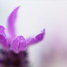 Lavender Dreams by Josie Eldred