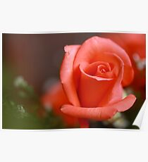 peach hybrid tea rosebud Poster