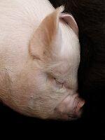 Piggy by Yampimon