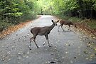 Deer In The Headlights by Carolyn  Fletcher