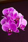Plant, Orchid, Phalaenopsis, Pink Flowers  by Hugh McKean