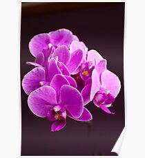 Plant, Orchid, Phalaenopsis, Pink Flowers  Poster