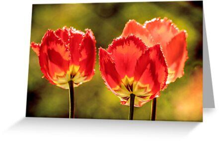 Glowing Red Tulips by LudaNayvelt